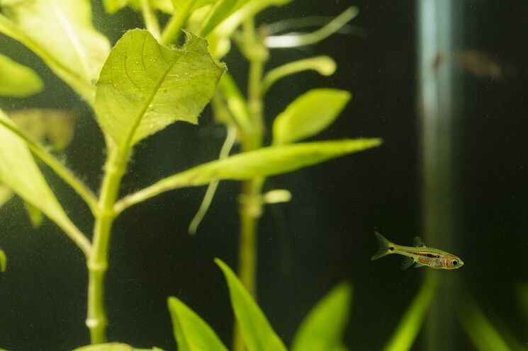 A Mosquito Rasbora