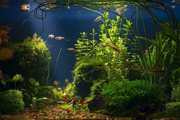 Chili Rasbora In Freshwater Tank