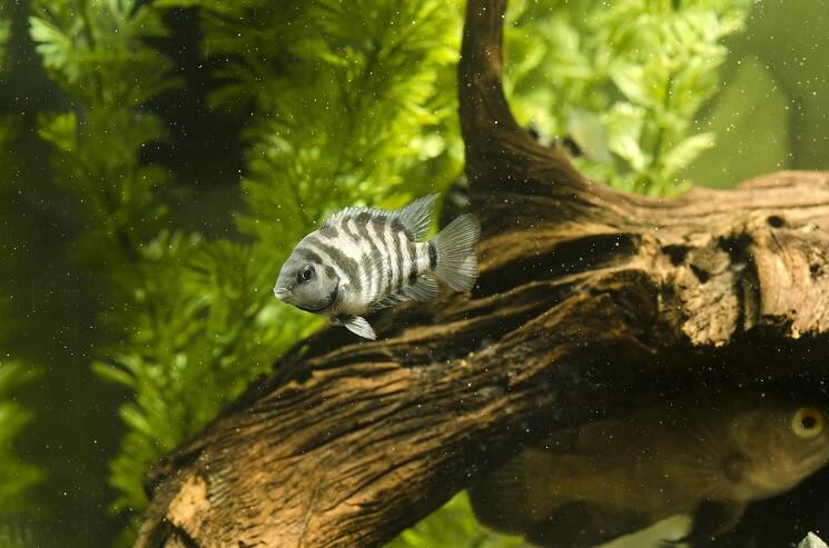 A Convict Cichlid