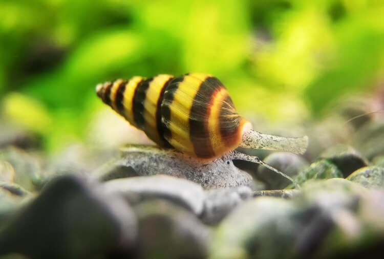 Assassin Snail Definitive Guide To This Pest Controller Cover