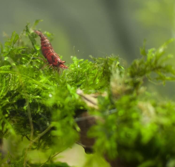 Cherry Shrimp Eating Java Moss
