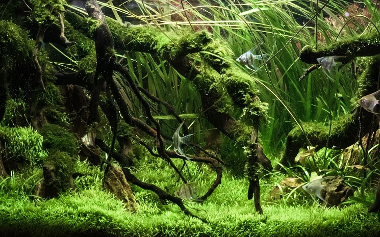 Java Moss Carpet