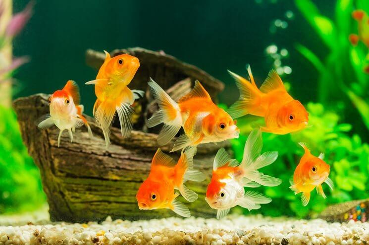 75 Gallon Aquarium With Goldfish