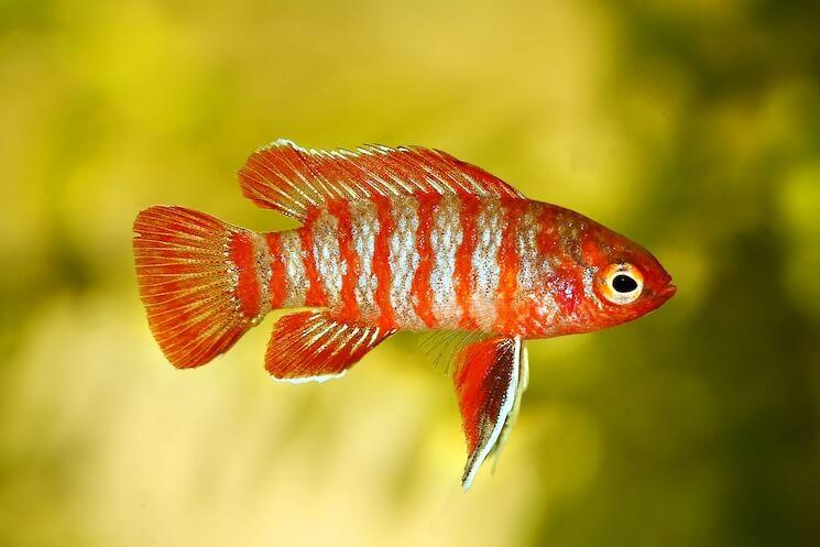 A Scarlet Badis Swimming