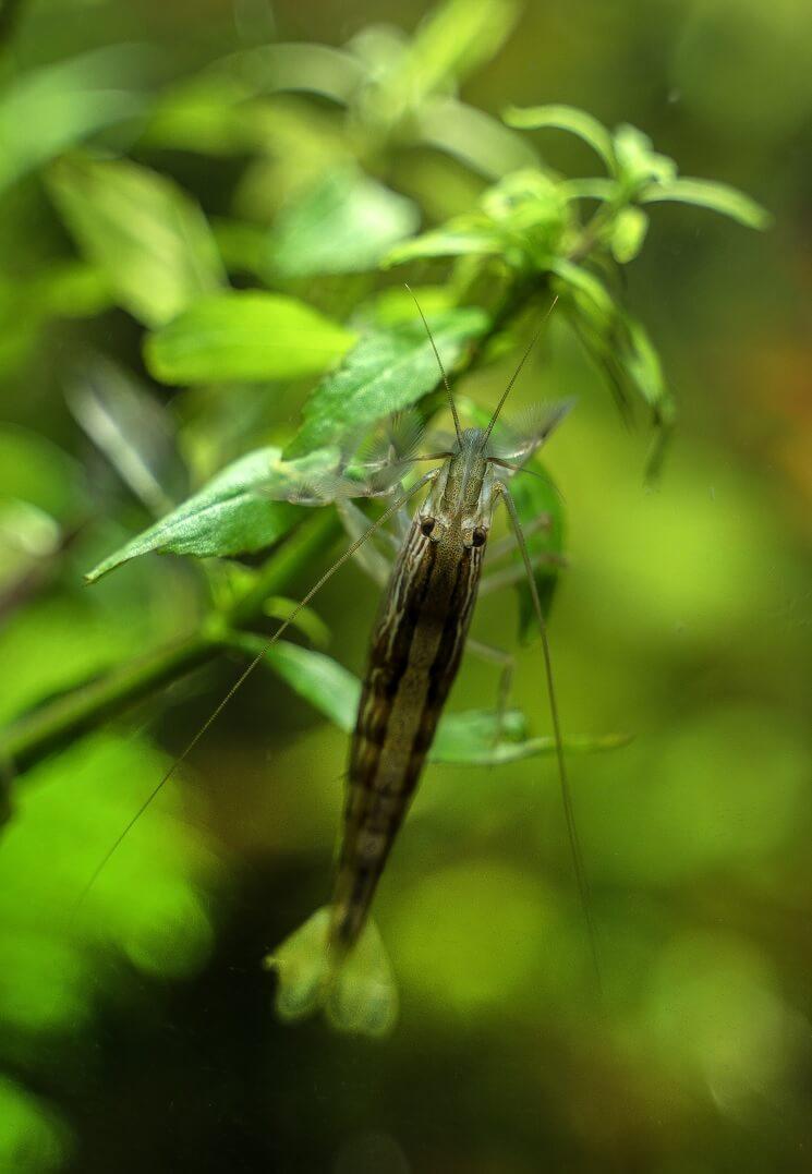 Bamboo Shrimp Apperance