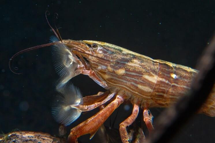 Bamboo Shrimp Close Up