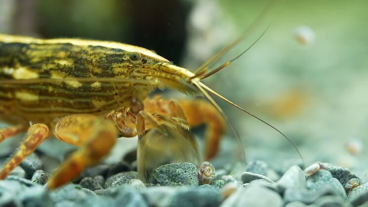 Bamboo Shrimp Looking For Food