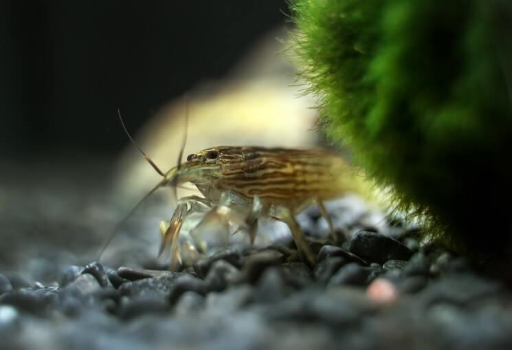 Bamboo Shrimp Substrate