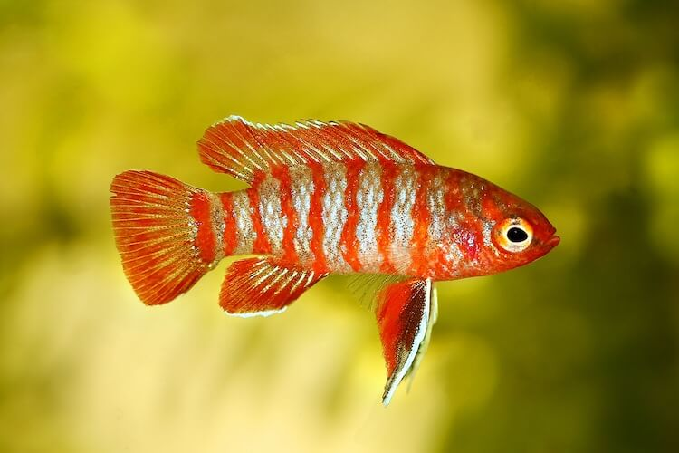 Scarlet Badis Care Guide, Tank Mates and Breeding Cover