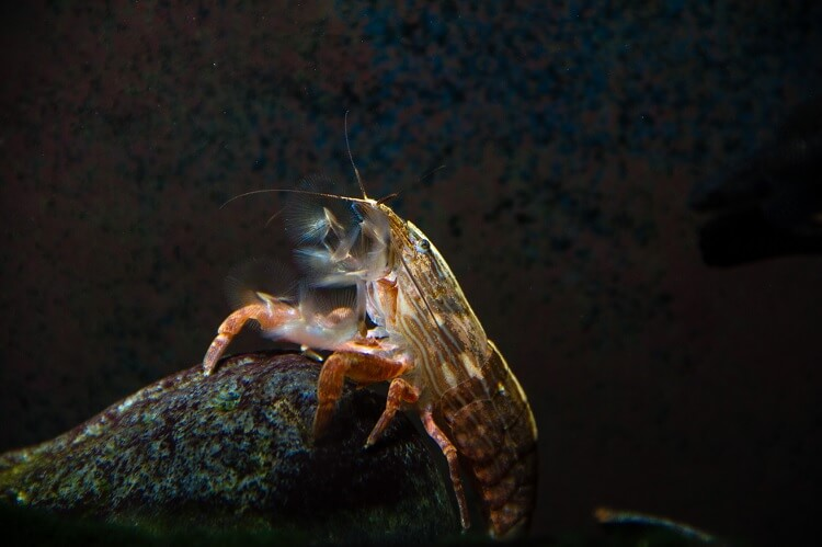 The Ultimate Guide to the Bamboo Shrimp (Breeding, Size, Care) Cover