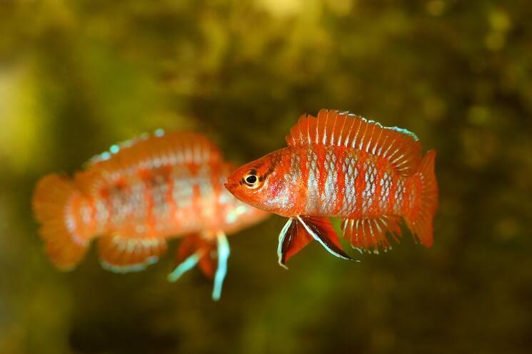 Two Scarlet Badis