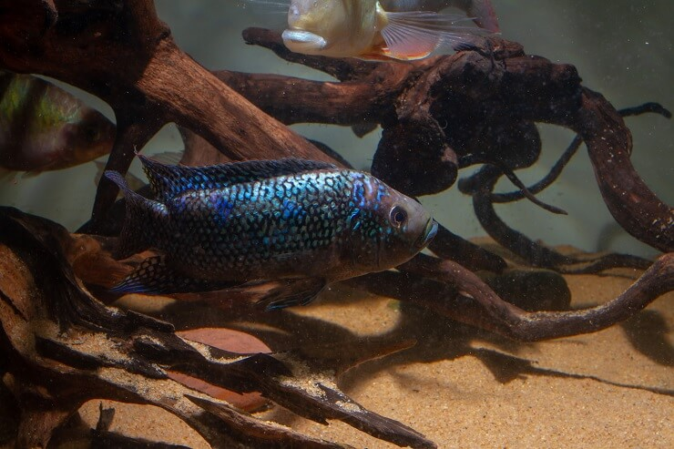 A Jack Dempsey Fish With Plants