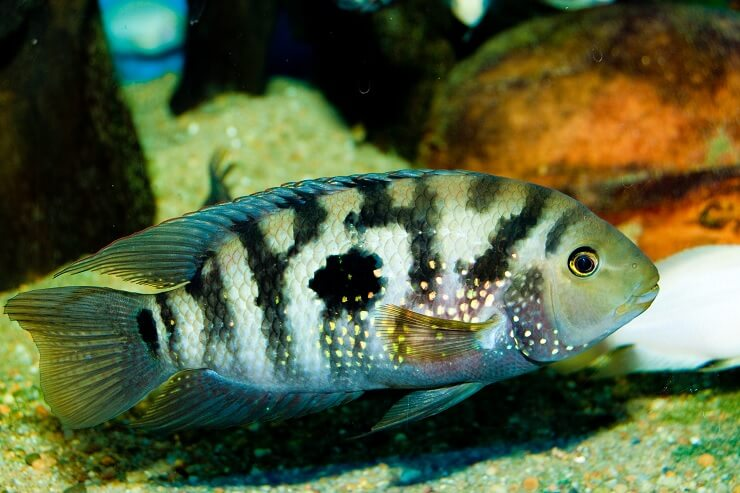 Black and White Jack Dempsey