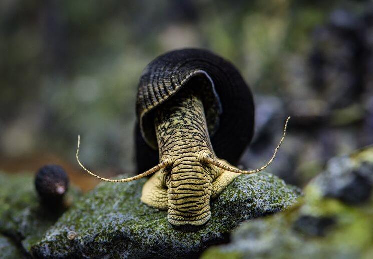 Elephant Snail