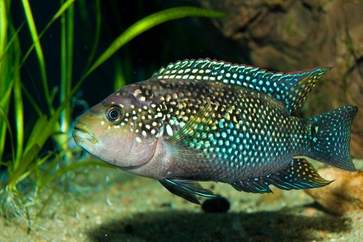 Jack Dempsey Fish Swimming