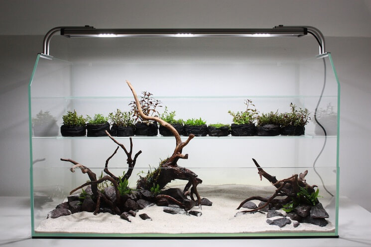 Planting Staurogyne repens