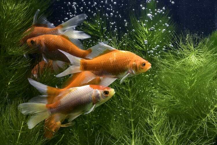 The Definitive Goldfish Care Guide (Including Care Sheet) Cover