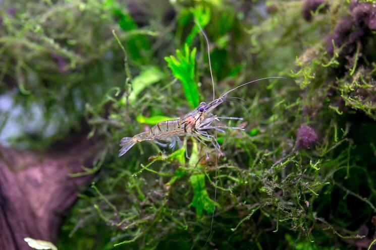 A Ghost Shrimp
