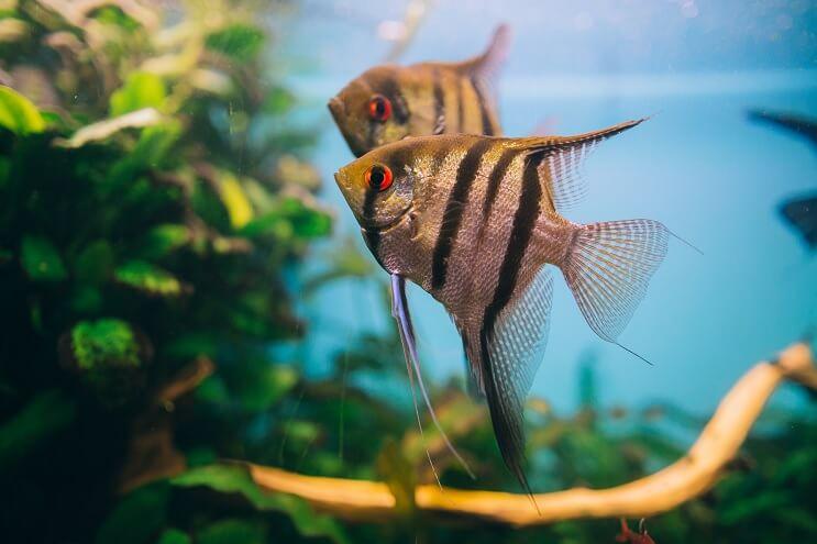 Angelfish Tropical Tank
