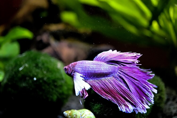 Betta Fish For Beginners The Complete Care Sheet Cover