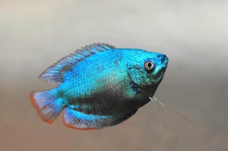 Blue Dwarf Gourami