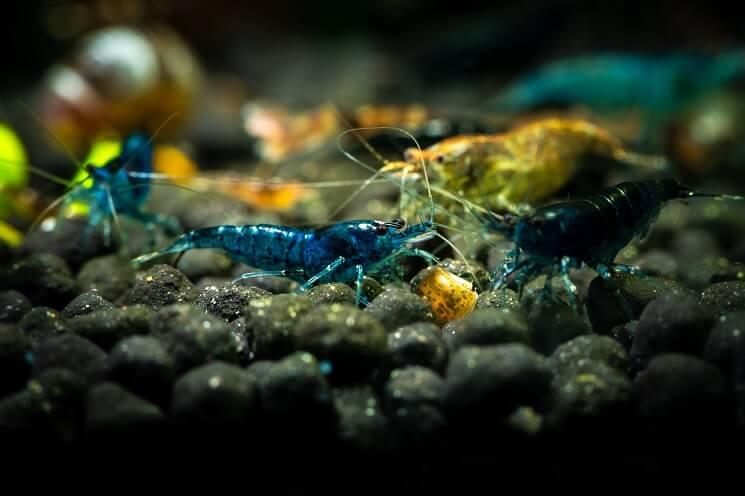 Blue Velvet Shrimp Eating
