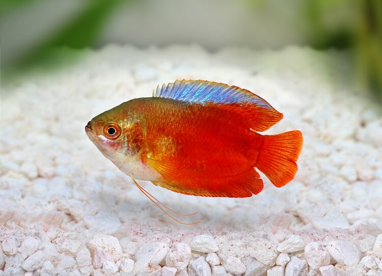 Dwarf Gourami Care Guide Colors, Tank Mates and More… Cover