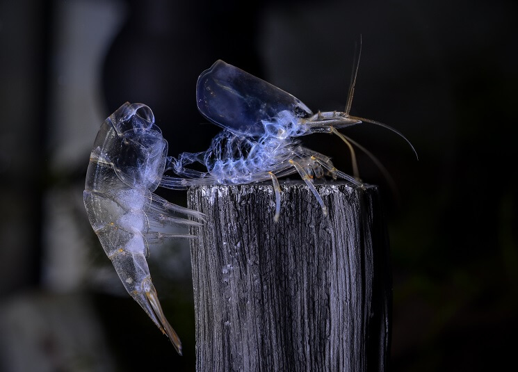 Ghost Shrimp Picture