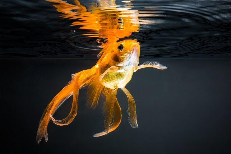 Goldfish Coldwater Tank