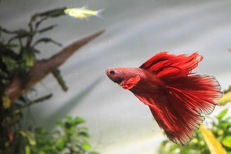 Red Betta