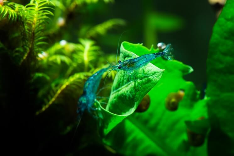 Two Blue Velvet Shrimp