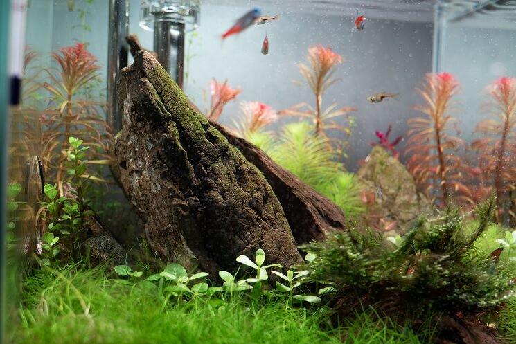 Fish With Dwarf Hairgrass