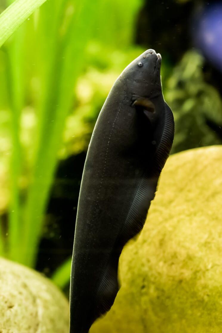 A Black Ghost Knifefish