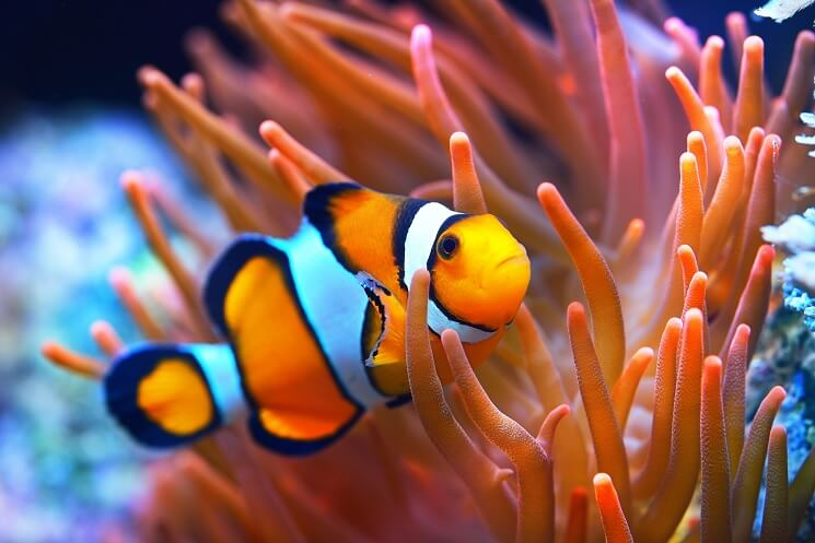 Clownfish With Anemones