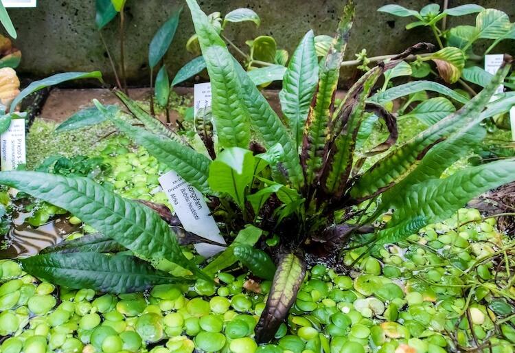 Congo Fern