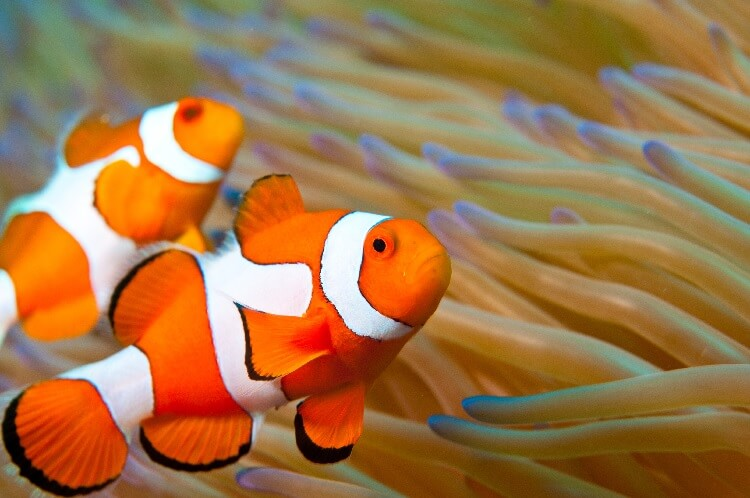 The Ultimate Clownfish Care Guide Types, Diet, Breeding and More… Cover