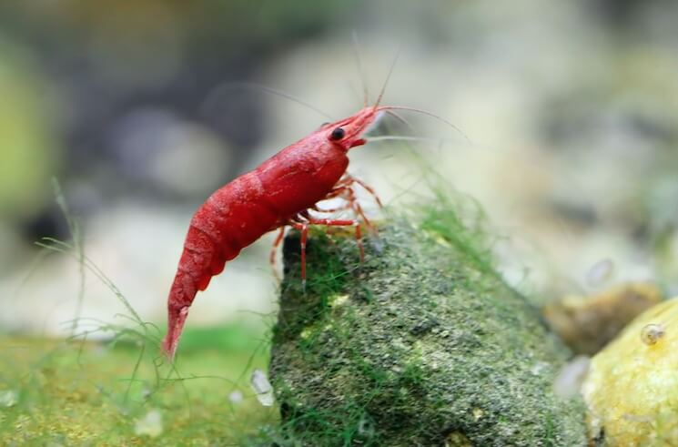 A Cherry Shrimp On A Rock