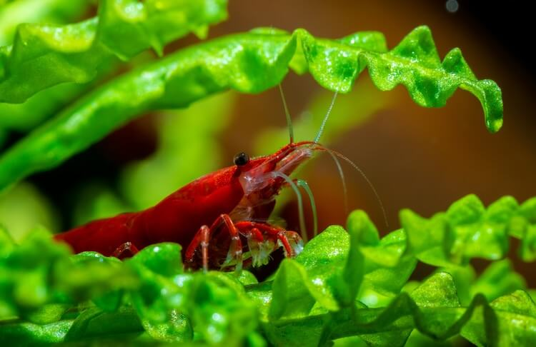 Cherry Shrimp Care Guide The Ultimate Tank Janitors Cover