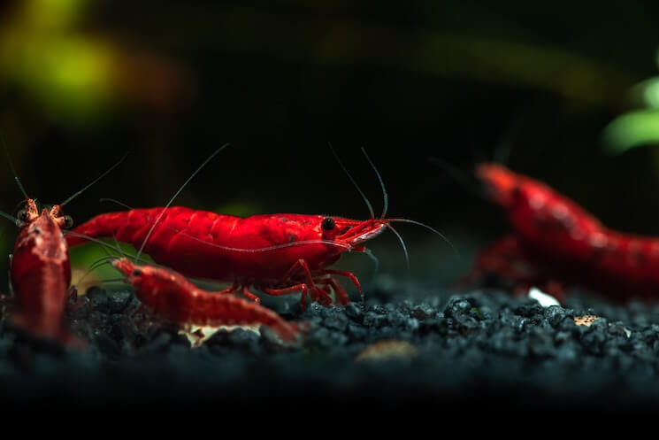 Cherry Shrimp With Young