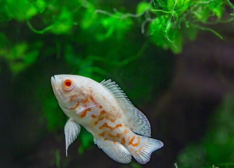 Close Up Albino Oscar