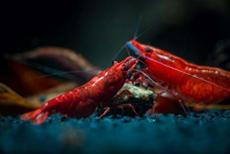 Fire Red Cherry Shrimp