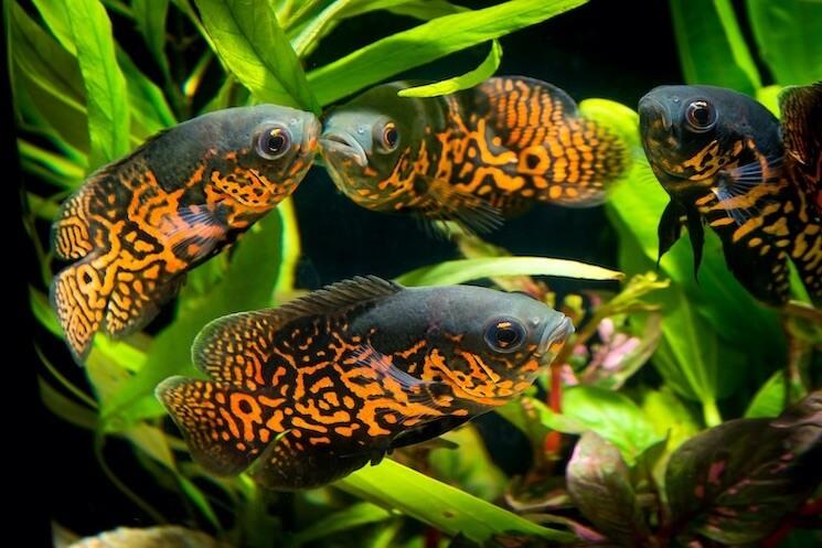 Group Of Oscar Fish