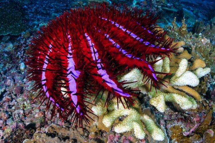 Starfish Eating Coral