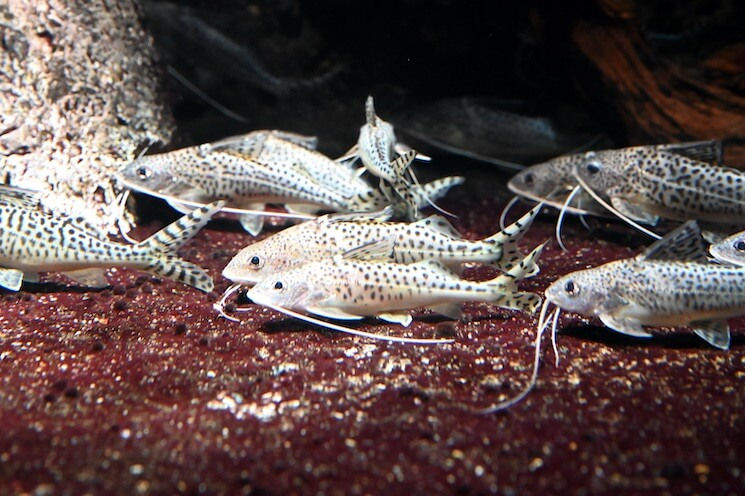 Pictus Catfish Tank Mates
