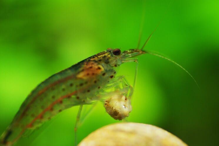 Amano Shrimp Eating