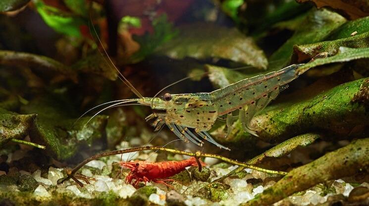 Amano Shrimp Tank Mates