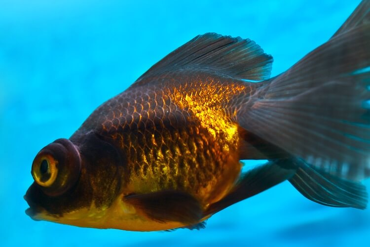 Black Moor Goldfish 101 Care, Tank Size, Food and More… Cover