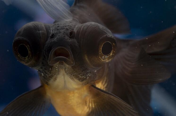 Black Moor Goldfish Close Up