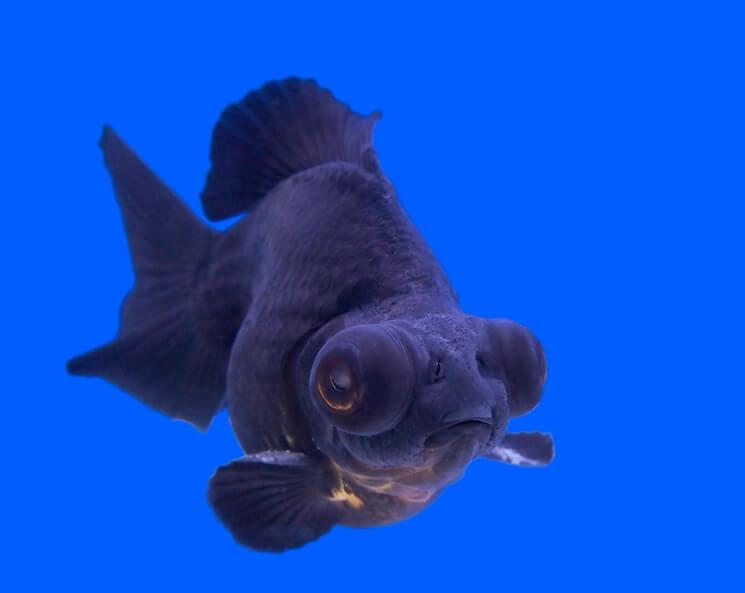 Black Moor Goldfish Swimming
