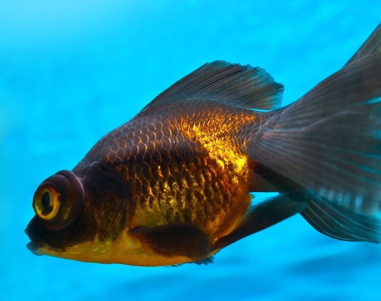 Black Moor Goldfish With Gold
